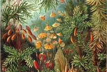Ernst Haeckel / The published artwork of Haeckel includes over 100 detailed, multi-colour illustrations of animals and sea creatures.