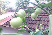 Aquaponics / My aquaponics tomato garden