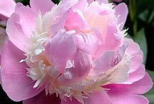 Quelque Fleurs