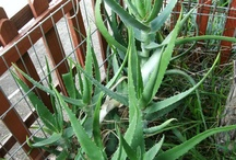 Varieties of Aloe