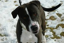 Adoptable Dogs at the Burlington County Animal Shelter / http://www.adoptapet.com/cgi-bin/public/petsearch.cgi/search_pets_by_shelter?first=dog&standalone=1&shelter_id=72651&current_page=1