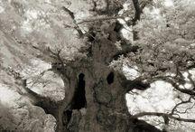 Árboles centenaris