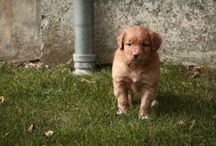 Noma - Nova Scotia duck tolling retriever / Our dog. The passion. The part of our family...