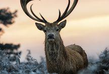 Renar/djur mend horn