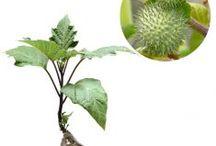 Penyakit Asma / Semua tanaman dalam board ini bisa dikirim keseluruh Indonesia, silahkan order ya, tel: 0341-599399 I SMS center: 08569020300 atau kunjungi website kami www.kebunbibit.id