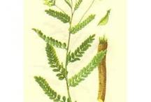 Herbs: Astragalus