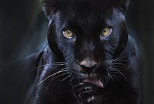 big cats  / by Leonie Lewis