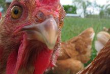 Chicken life