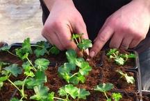 Côté production / Le Jardin de Chauffin est surtout producteur de fleurs annuelles et vivaces, et plants pour le potager. Dans le tunnel et le bitunnel derrière la grande serre, il y a toujours de l'activité...