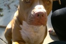 Lovely LuLu.... / our Red Nose pitbull, our love and joy..