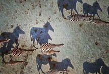 'Burchell's zebras crossing the Makgadikgadi Pan in Botswana #HeathrowGatwickCars.com