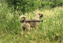 Allevamento Kangal Italia / Allevamento Kangal Malakli in Italia