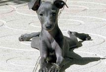 Italian greyhound / Italiensk mynde
