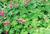 tuinplanten / tuinplanten