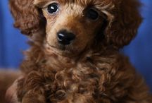 Mini and Toy Poodles