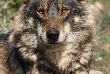 Wolves, Vlci, Wölfe, Lupi, Волки, Loups