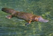 Monotremata Order / (Monotremes) Egg-laying Mammals.  Platypus, Echidna (spiny ant-eaters)  Australia, New Guinea
