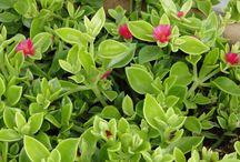Plantas pra forração
