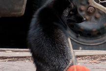 Fox / Fox.  Zorros.