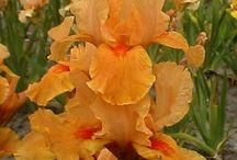 Iris germanica / saksankurjenmiekat
