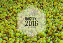 Kristinus Harvest 2016 | Szüret 2016 / Kéthely winemaking has a three-hundred-year old tradition. The grape from the 55-hectares of vineyards, located in the protection of hills and forests becomes perfect raw material due to the clay soil and fresh air, and we handle them in the way they deserve.   #kristinus #cellarkeytolakebalaton