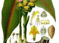 växtfärningsväxter