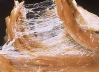Fascia / All of your muscles and organs are covered with a thin layer of fascia. Fascia is internal connective tissue that wraps around organs, providing support and holding parts together. It has the appearance of a very thin spider web, connecting layers of muscle and surrounding all internal body tissues.