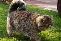 Gatos Exóticos e Persas / Gatil Magnificats