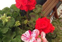 Las flores de mi balcón
