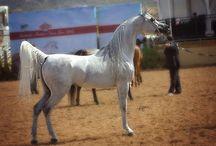 Arabian horses in show