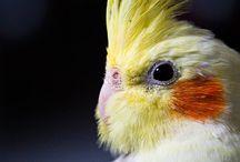 Korela parrot