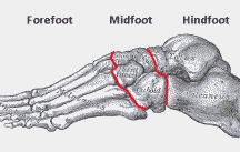 Foot anatomy / Learn about the bones, muscles and ligaments around the ankle, foot and toes