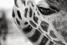 Giraffes / by Crystal Gharini