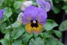 Plant Focus - Violas