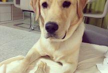Mojo-labrador retriever / Pet
