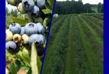 Milburn Orchards Blueberries / UPICK Blueberry Adventures are a blast!