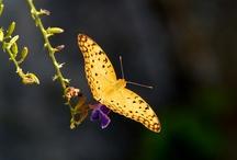 Yellow Butterflies Everywhere