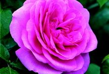 Roses / We specialise in roses here at Beechdale Garden Centre, Wexford.