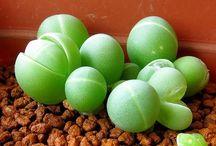 suculenty/kaktusy