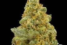 Cannabis/Konopí Foto / Nádherné fotky odrůd konopí a cannabisu celkově