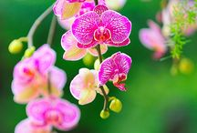 Орхидея / Фаленопсис