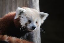 Red Pandas / Red pandas are endangered, victims of deforestation. Their natural space is shrinking as more and more forests are destroyed by logging and the spread of agriculture.