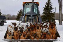 Dog / Pastores alemanes