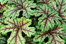 Växter / Marktäckare