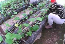 как вырастить огурец / один из важных факторов в выращивании огурца после посадки - это формирование куста, от этого зависит как будет расти и как потом не топить какое бы не было отопление в теплице , поэтому обращаем на это ваше внимание
