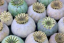 capsule seminte seeds