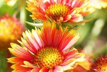 Flori perene ptr.gradina