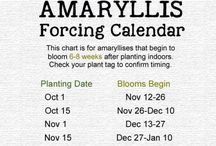 Amaryllis bolle