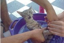 Cats, Puddy Tats, Le Chat, die Katze, der Kater, puss, tom... / gato, biladi, gatz, katsi, wesa, maa-oh, meo, pusa, pisica, koshka, marjara, felino, felina, katt, busi, chatz, maow, pussi, piscin, billy, kissa, kottur, gatto, neko, shimii, kot, kotka, kedi, kotuk, kats, ikati, poonai, paka, cath, minoos, gnari fula, miz, qattus, qattusa,  poocha, katma, kayangi, bekku..... KITTY!!