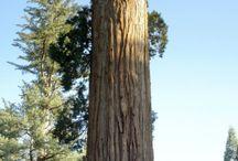 paduri arbori gigant